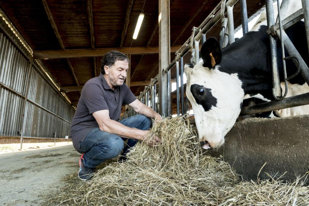 fetaosona - Granja Comas - tenim cura de les nostres vaques