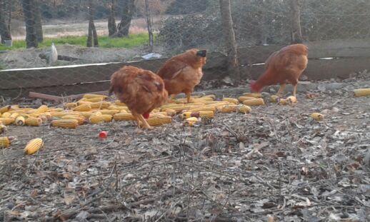 fetaosona - pollastre del Montseny