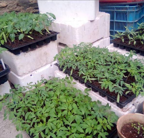 Fetaosona Planter tomaquera Banc de Llavors