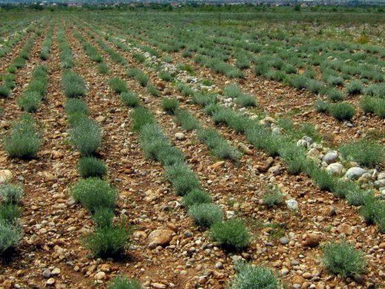 Fetaosona -Herbolari de Sau - Cultiu