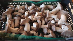 Fetaosona Mycelio Eryngii
