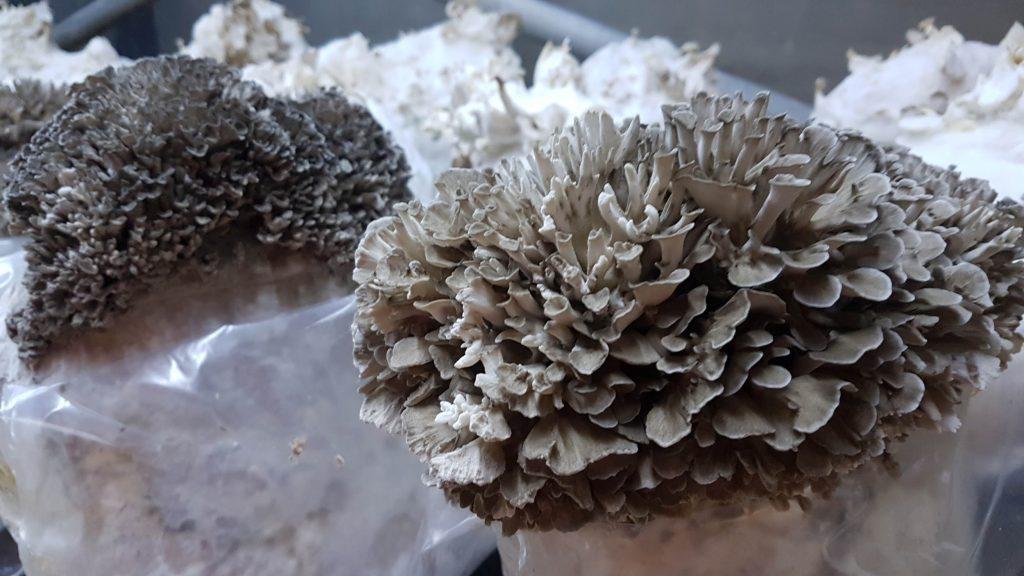 Fetaosona Mycelio maitake