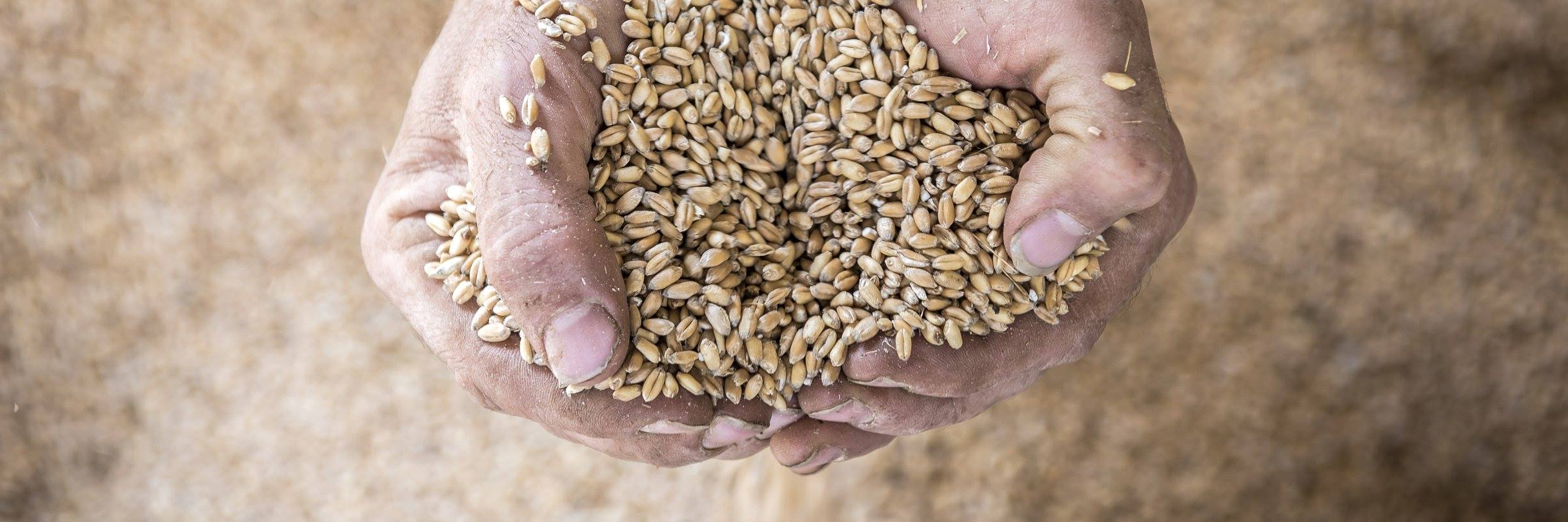 Fetaosona Mas Bellpuig recupera el blat que es cultivava a la zona